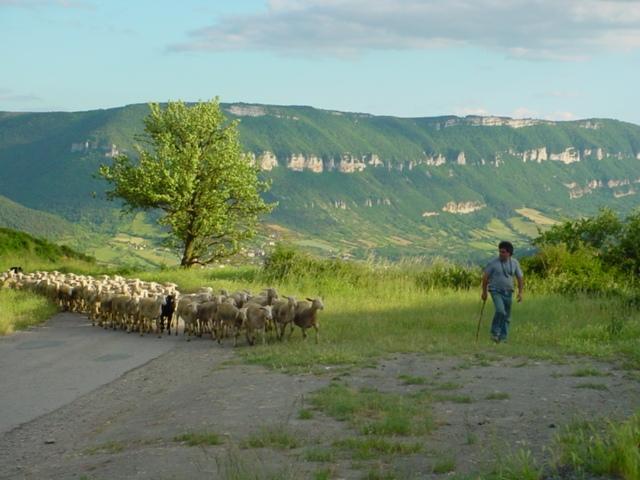 Troupeau de brebis à Fontaneilles